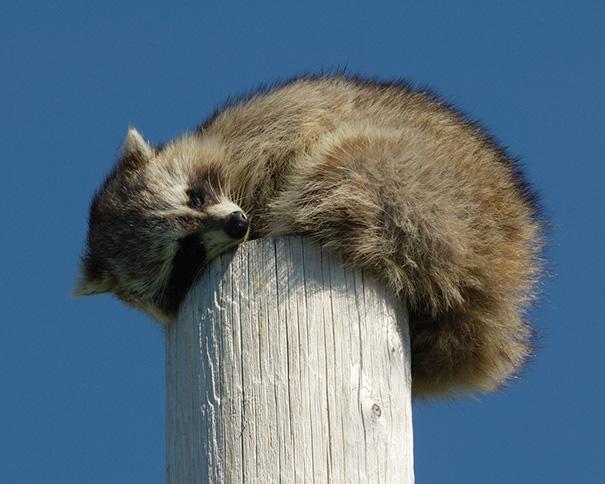 animales-durmiendo-cualquier-sitio- (6)