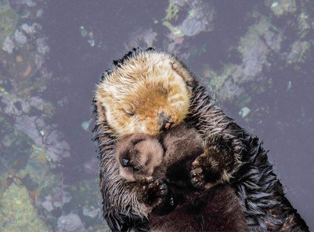 cria-nutria-durmiendo-barriga-madre-monterey-bay (2)