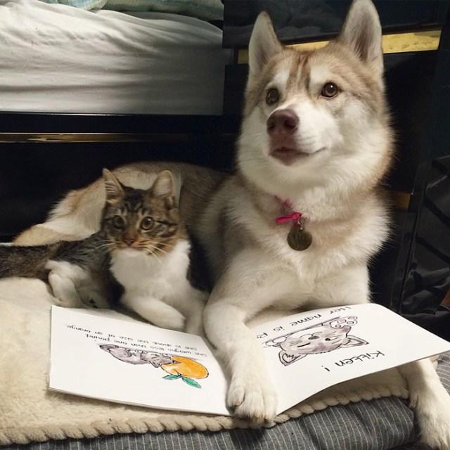 gato-rosie-amistad-3-perros-huskies (13)