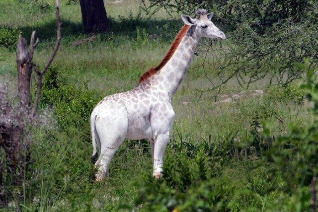 jirafa-blanca-omo-leucismo-tanzania (5)