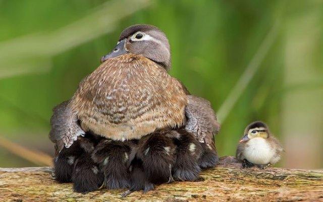 padres-pajaro-polluelos (4)
