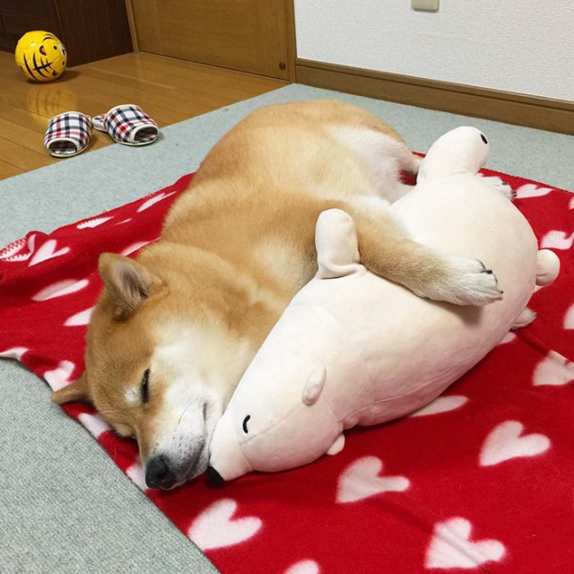 perro-shiba-inu-maru-dormir-igual-oso-peluche (3)