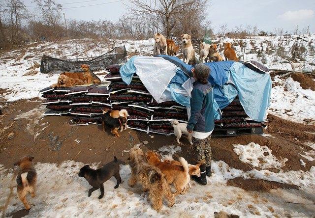 200-perros-rescatados-jung-myoung-sook-corea-sur (3)