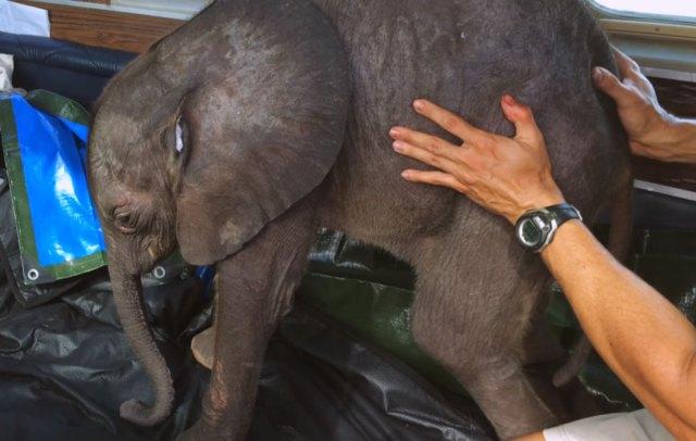 cria-elefante-rescatada-moyo-roxy-danckwerts-zimbabue (2)