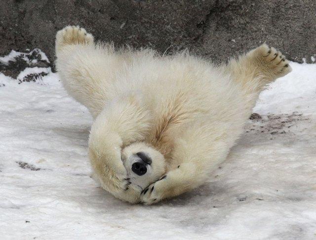 fotos-oseznos-polares (3)