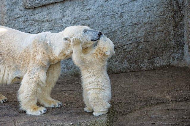 fotos-oseznos-polares (4)