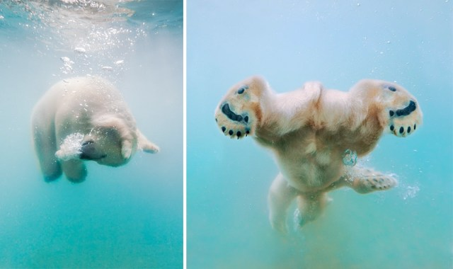 fotos-oseznos-polares (5)