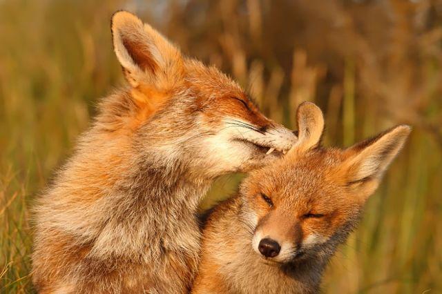 fotos-zorros-amorosos-roeselien-raimond (2)