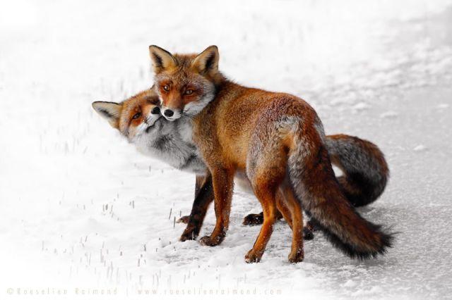 fotos-zorros-amorosos-roeselien-raimond (3)