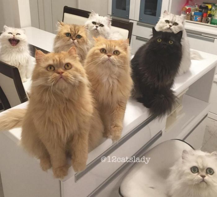 Esta mujer vive con 12 gatos persa chinchilla que en