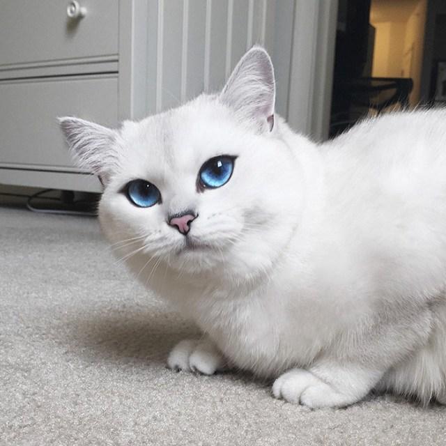 ojos-bonitos-gato-pelicorto-ingles-coby (14)
