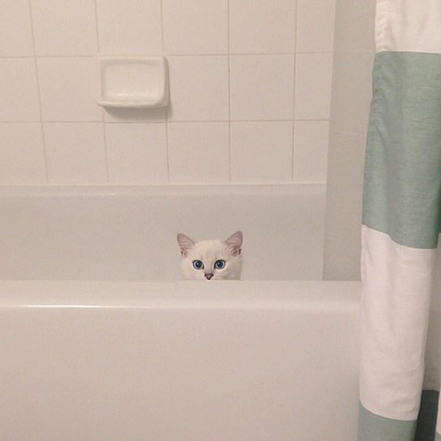 ojos-bonitos-gato-pelicorto-ingles-coby (2)