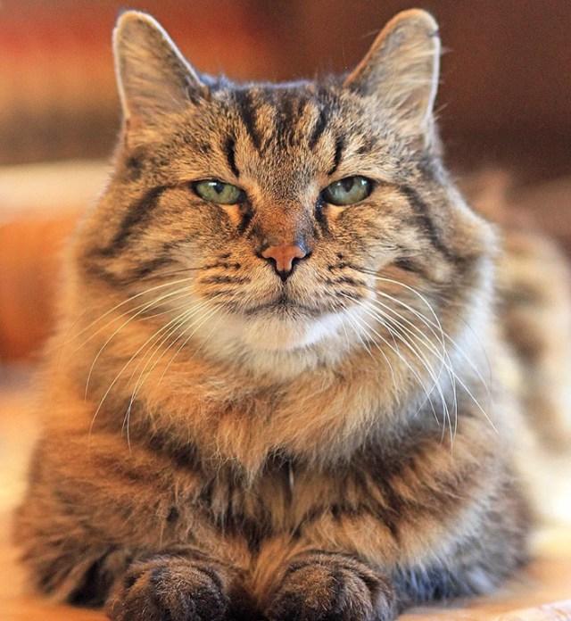 record-gato-viejo-mundo-corduroy (7)