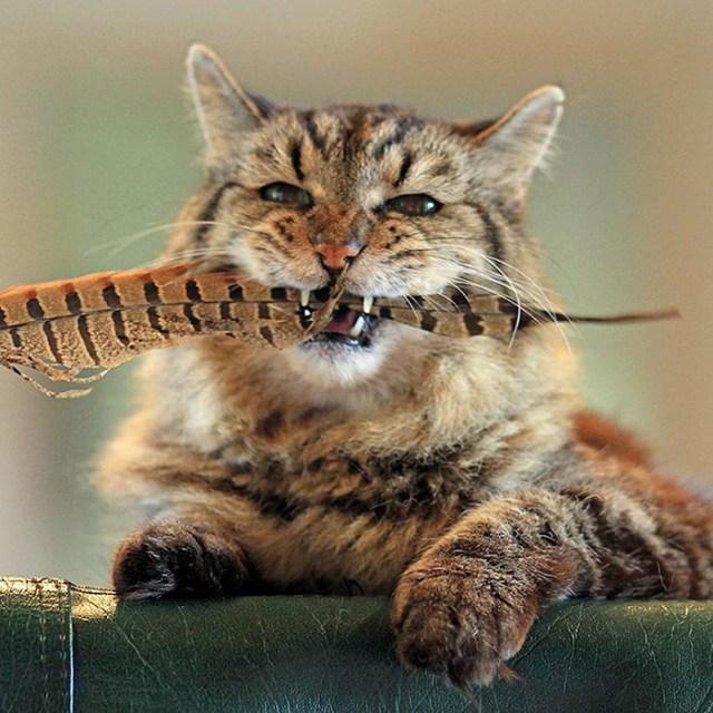record-gato-viejo-mundo-corduroy (8)