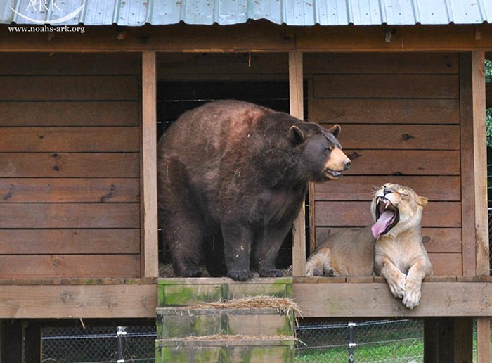 amistad-animal-inusual-oso-leon-tigre-santuario-georgia (3)