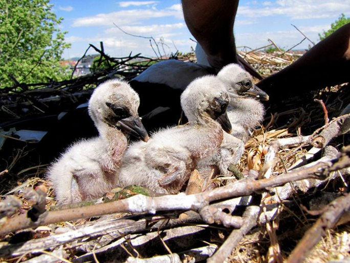 ciguena-vuela-miles-de-kilometros-por-amor-klepetan-malena-croacia (3)