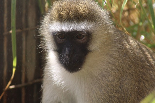 One of the monkeys at Born Free USA