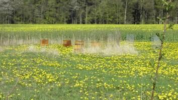 Mælkebøtterne blomster - og snart følger rapsen efter