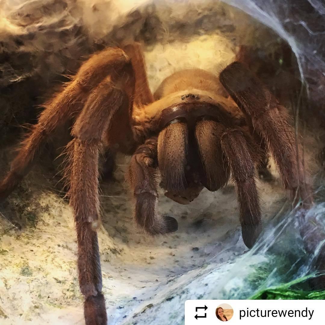 #Repost @picturewendy Nerveus en gefascineerd tegelijkertijd. Spinnen zijn nou niet bepaald mijn favoriete dieren, maar door dit monstertje was ik zeker geïntrigeerd. #KasteelparkBorn #spin #arachnofobie #liefdevoorlimburg #ditislimburg #borninbeeld