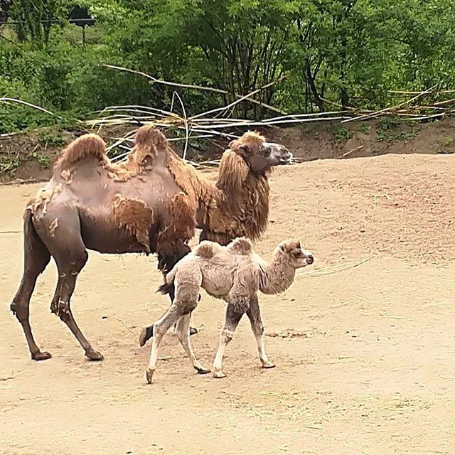 Ik groei al goed. @kasteelparkborn #kasteelparkborn #sittard #camel #limburgers #born # borninbeeld #limburg  #Repost from @dickvanderpijl