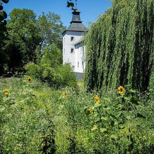 Zonnebloemen in het #KasteelparkBorn  #born #borninbeeld #limburg #liefdevoorlimburg #zonnebloem #sunflower #iglimburg #ig_nature @limburginbeeld