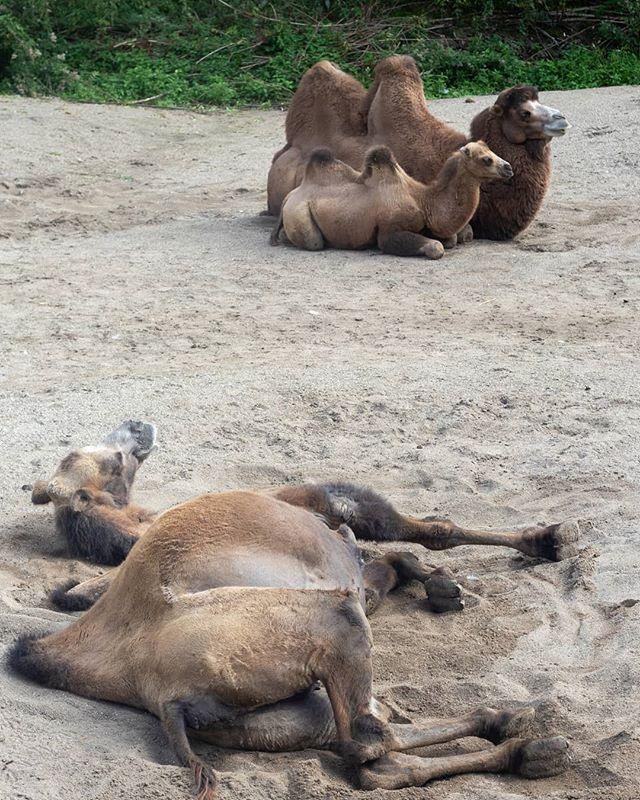 De kamelen genieten van de zon in het Kasteelpark in Born.  #born #bor #borninbeeld #KasteelparkBorn #limburg #liefdevoorlimburg #kameel #dierenpark
