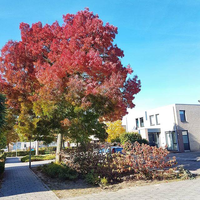 Mooie herfstkleuren in Born.. #born #borninbeeld #herfst #najaar #2018 #limburg #limburginbeeld @limburginbeeld 📸@sjoerdsmeets