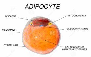 vette-cellen-van-vetweefsel-adipocytes-binnen-menselijk-organisme-isoleer-69365908