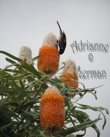 New Holland Honeyeater