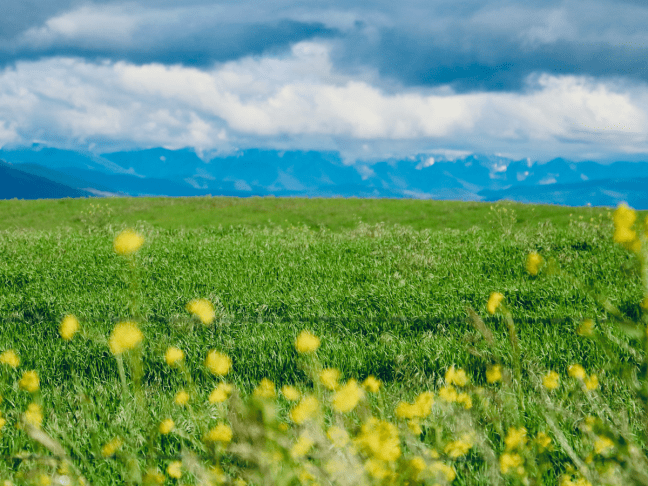 Meadow with yellow flowers and mountains