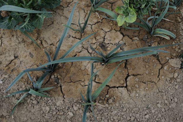 Άνυδρη καλλιέργεια καλαμποκιού και ρυζιού / seed-for-life.org