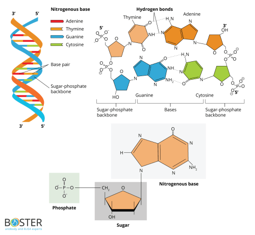 small resolution of nucleotides structure