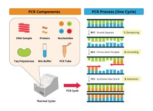 Polymerase Chain Reaction (PCR) Key Principles