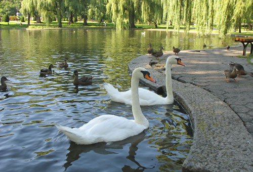 Photo of swans in Boston's Public Garden