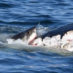 Cape shark researchers take advantage of great whites feasting on dead whale, tag 5 of the apex predators 💥😭😭💥
