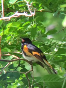 American Redstart (Setophaga ruticila, #71 on the Suffolk County list). One of my favorites. Author's photo.