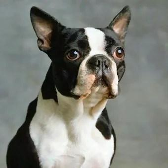 https://i0.wp.com/www.bostonterrierforums.com/sites/default/files/boston-terrier.jpg