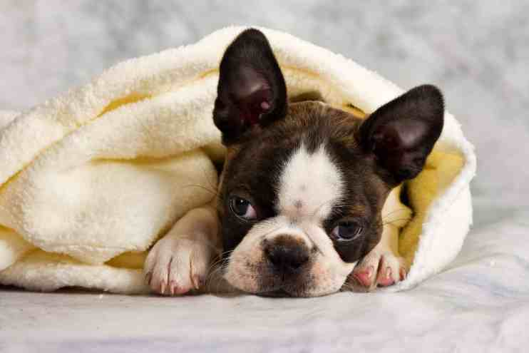 Boston Terrier Birthing: A Complete Guide. Boston Terrier Society