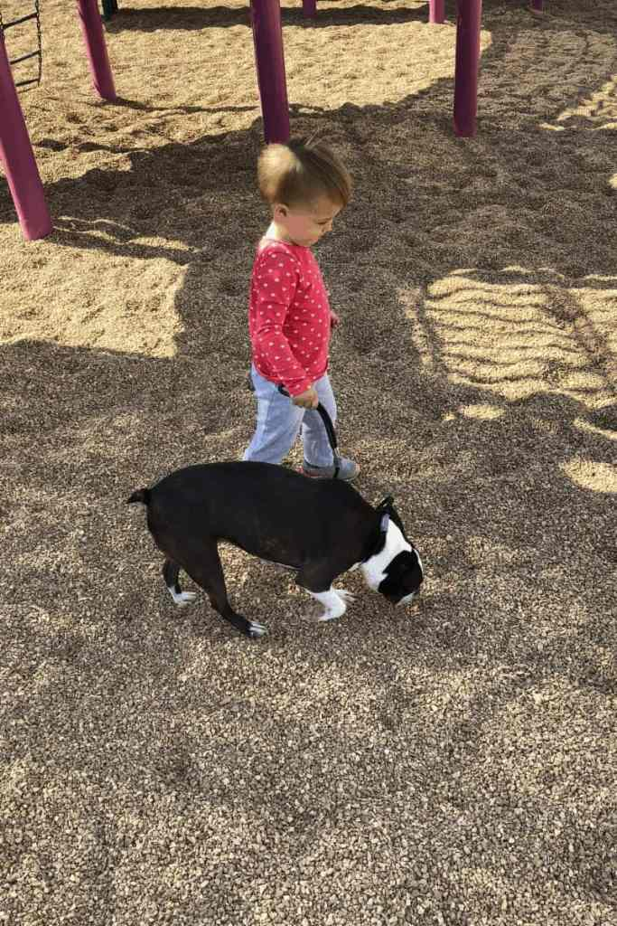 Train your Boston Terrier to Walk on a Leash Without Pulling. Boston Terrier Society.