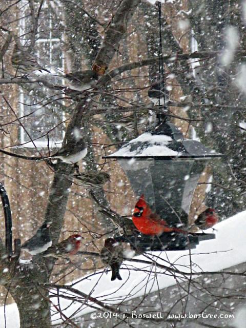 IMG_2876 Cardinal 3