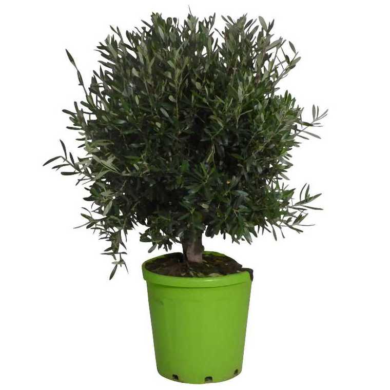 Olivier Plantes Et Jardin