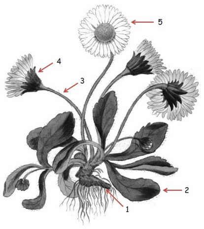Wild Flower Diagram Flower Whorls Wiring Diagram ~ Odicis