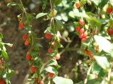 Βοτανικό Πάρκο- Κήποι Κρήτης: Φρούτο Λίτσι