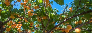 Καρποφόρα Δέντρα- Βοτανικό Πάρκο και Κήποι Κρήτης- Εσπεριδοειδή Κρήτης