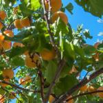 Botanical Park- Gardens of Crete: Mediterranean Fruit Trees: Orange Trees- Mediterranean Fruit Trees Garden- Citrus Trees