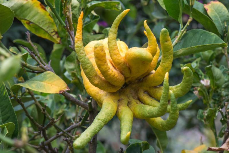 Tropical Garden - Botanical Park & Gardens of Crete: The hand of Buddha