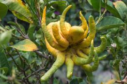 Τροπικά Δέντρα- Βοτανικό Πάρκο και Κήποι Κρήτης: Το χέρι του Βούδα