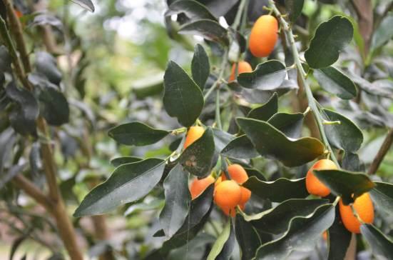 Botanical Park- Gardens of Crete: Our Kumquats