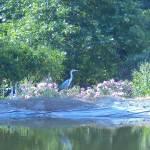 Βοτανικό Πάρκο και Κήποι Κρήτης: Πελαργός στην Λίμνη