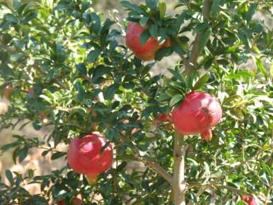 Botanical Park- Gardens of Crete: Mediterranean Fruit Trees: Pomegranate